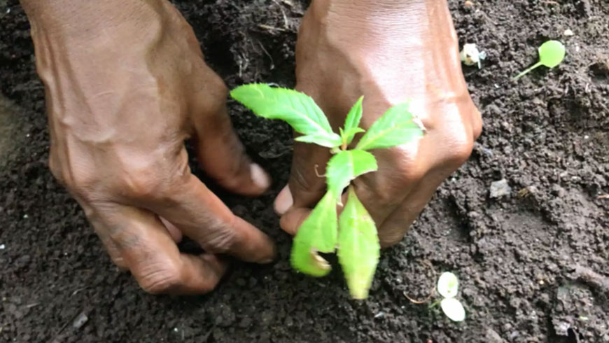 Hands planting an herb.