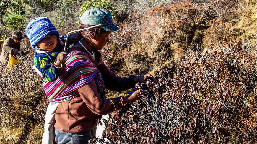 Harvesting the Annapurna Rhododendron in Dagala