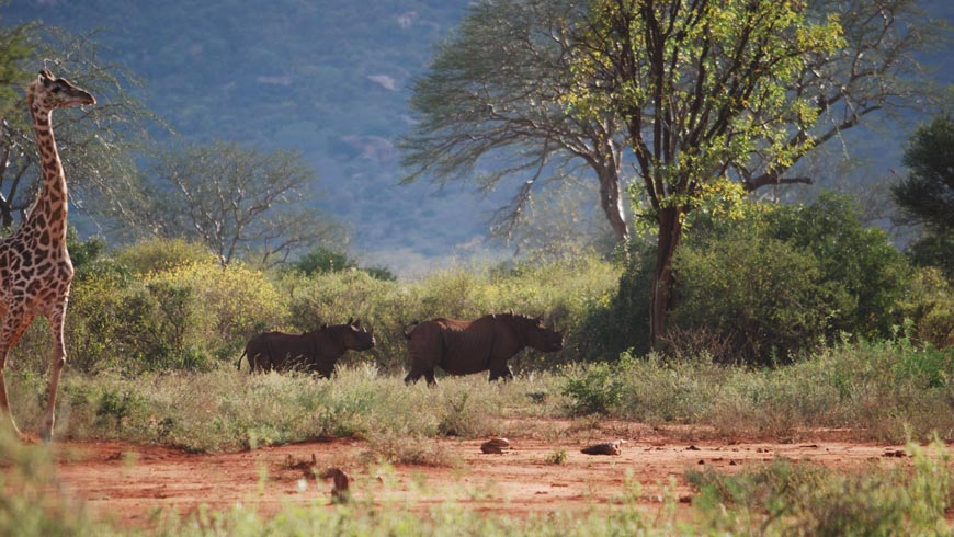 Over 60 mammal species, including the 'Big Five' (lion, leopard, rhino, elephant, and Cape buffalo), and over 400 avian species have been recorded in Tsavo, including many threatened species.