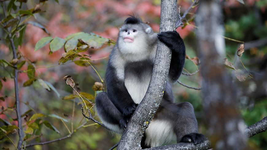 Yunnan snub-nosed monkey in a tree