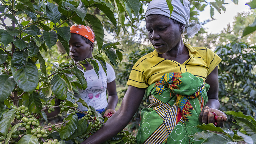 Women picking coffee in Gorongosa National Park