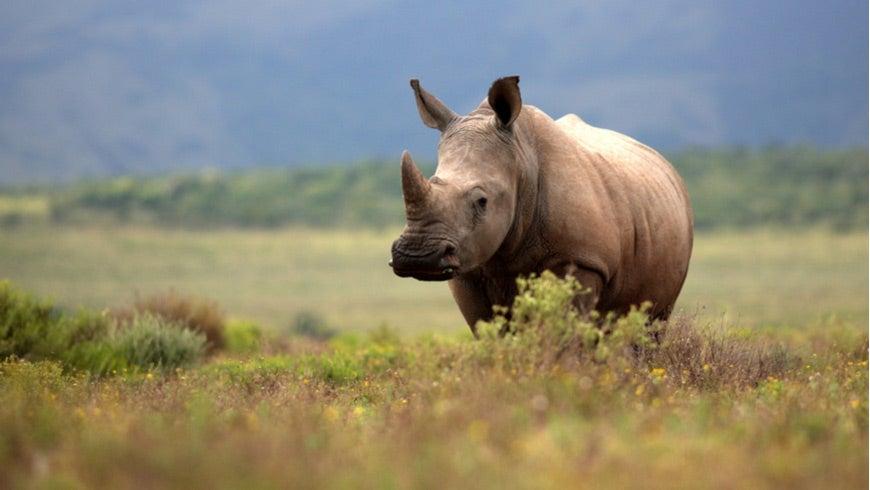 A White Rhino grazing in an open field.