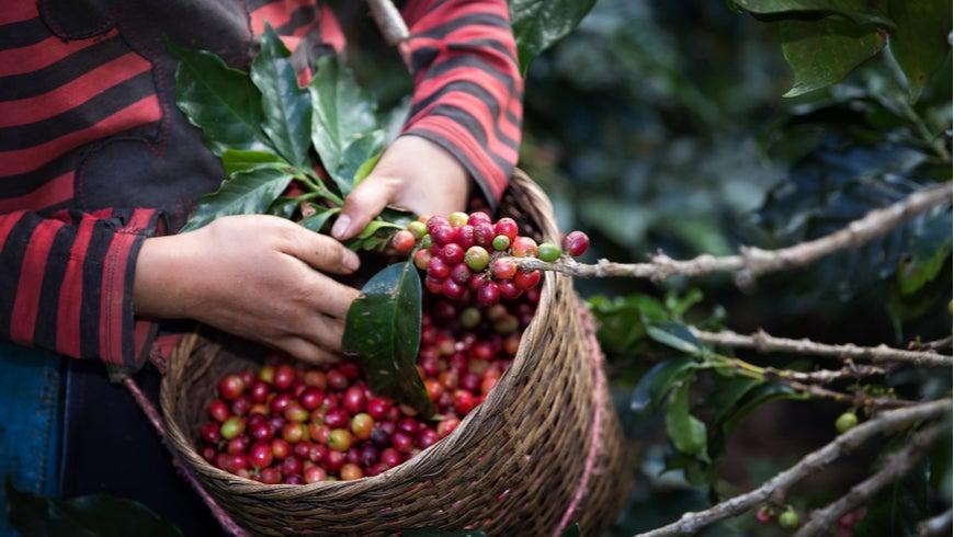 Worker harvesting coffee berries
