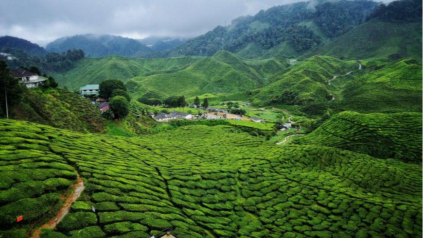 Cameroon highlands tea farm