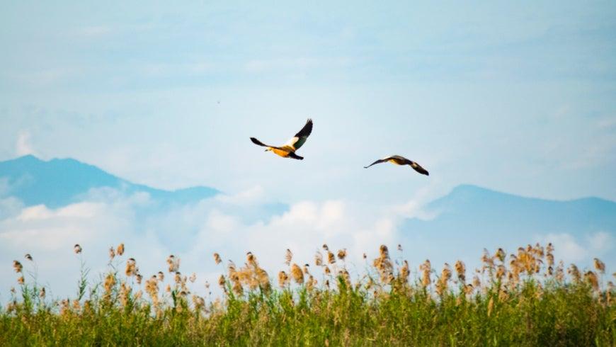 Birds flying at Maguri Bill lake in India