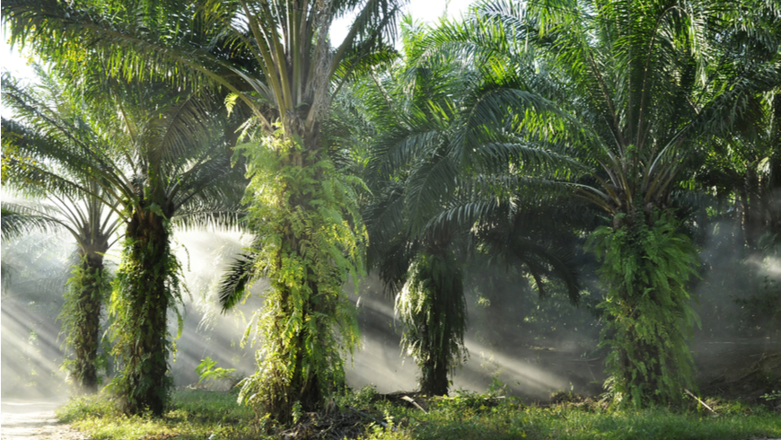 Palm oil plantation at sunrise