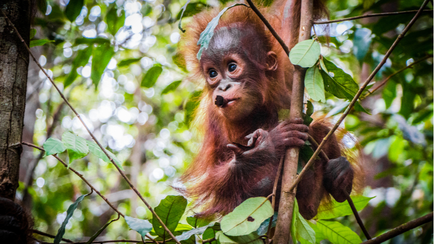 A baby orangutan hangs on a tree in Borneo