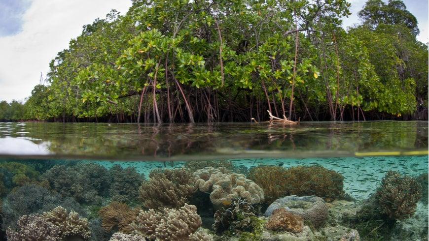 Mangrove forest underwater