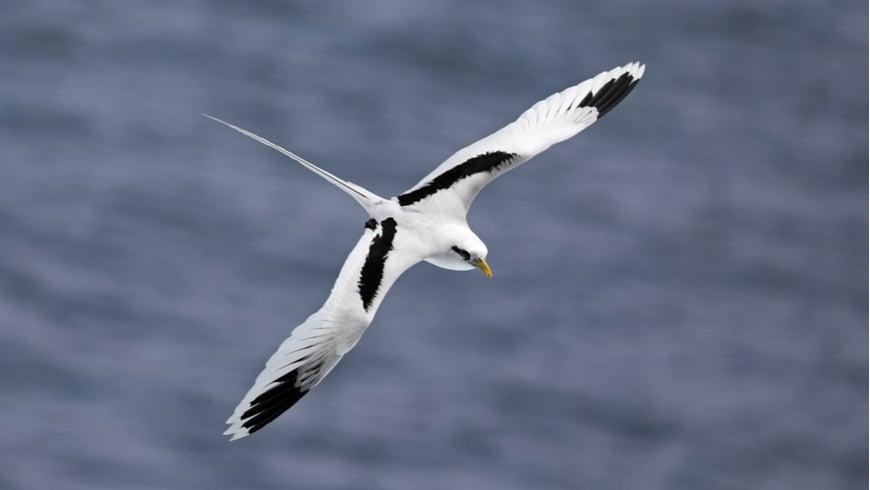 White-tailed tropicbird in flight