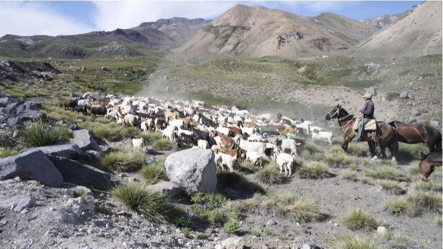 Shepherds on horseback herding sheep through Chile's Maule region