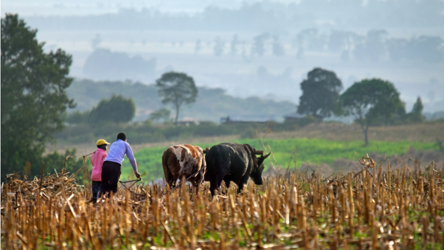 Farmers in field behind plow animals near Mt. Elgon National Park, Kenya