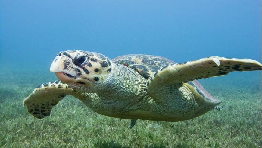 Hawksbill turtle swimming above seagrass