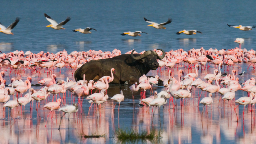 A water buffalo surounded by flamingoes in Kenya's Lake Bogoria National Reserve
