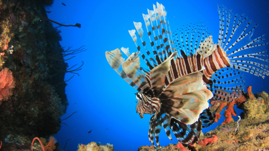 An invasive lionfish. Photo: Rich Carey/Shutterstock.