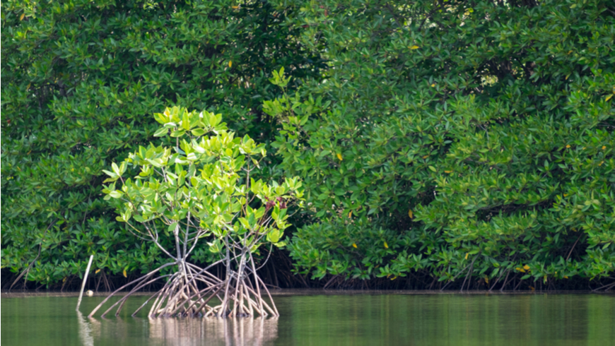 Mangrove forest with a small mangrove tree in foreground