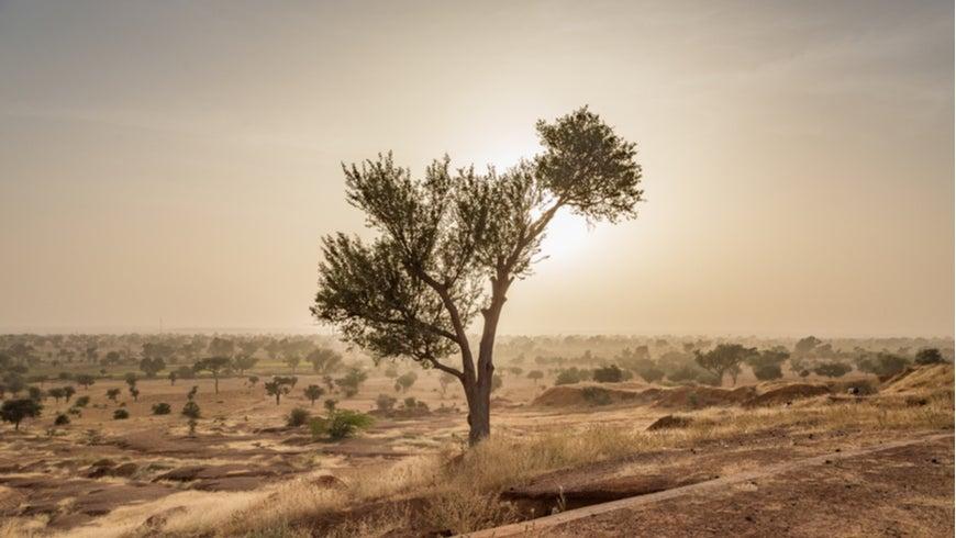 Tree in the Sahel