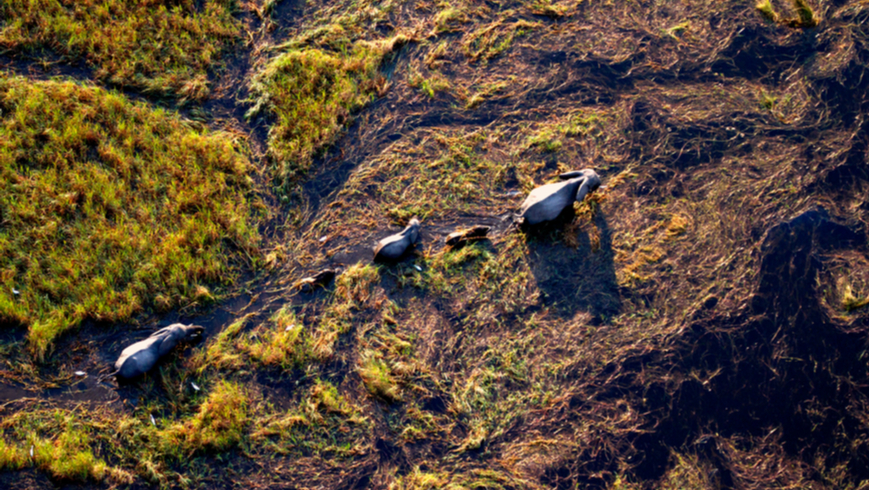Aerial view of elephants in Botswana