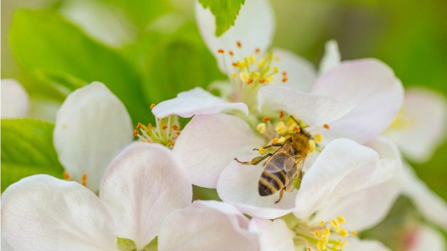 Honey bee on a flower. Photo: Zoran Kompar Photography/Shutterstock.