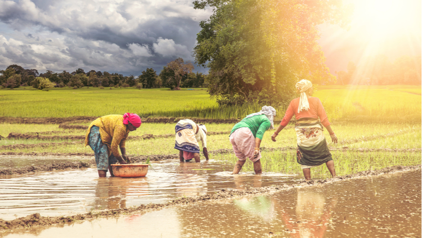 Group of Indian village woman farmers working in a paddy field during monsoon season in month of June