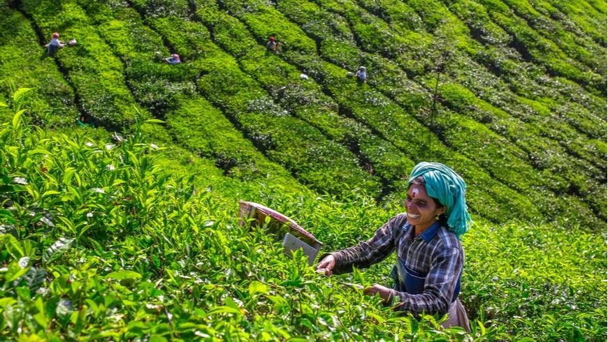 Women picking tea leaves in a tea plantation around Munnar, Kerala, India