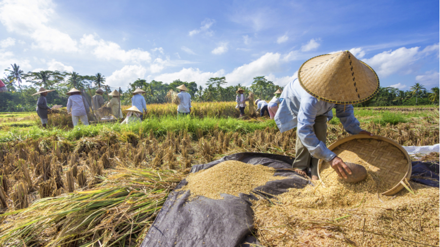 Indonesian farmers harvesting rice. Photo: happystock/Shutterstock.