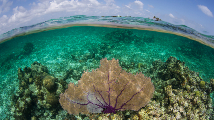 A purple gorgonian exists on a shallow coral reef on Turneffe Atoll in Belize.