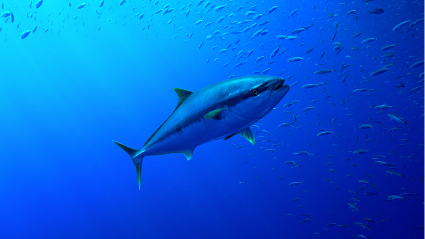 Tuna amongst prey. Photo: J'nel/Shutterstock.