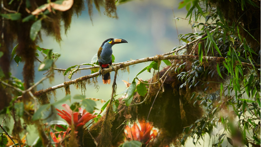 Plate-billed mountain toucan perched on mossy branch among bromeliad flowers in typical environment of cloud forest