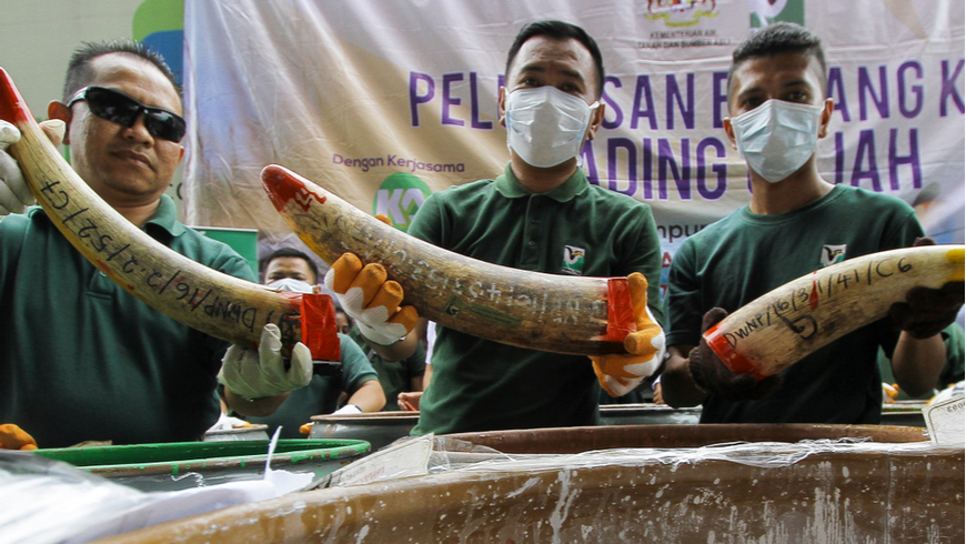 Staff at a government-run waste management facility outside Seremban, Malaysia arrange seized ivory tusks before destroying