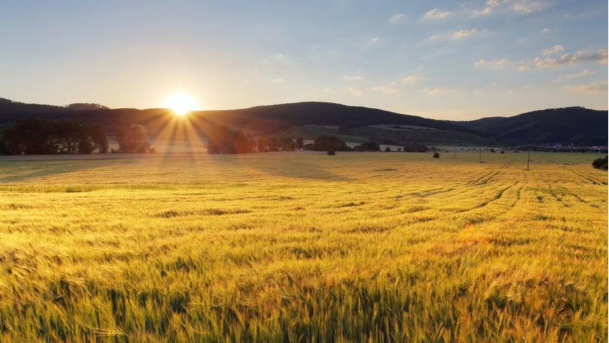 Wheat field with sun. Photo: TTstudio/Shutterstock.