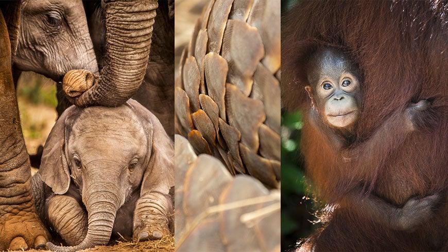 Photo collage: elephant, pangolin scales, orangutan