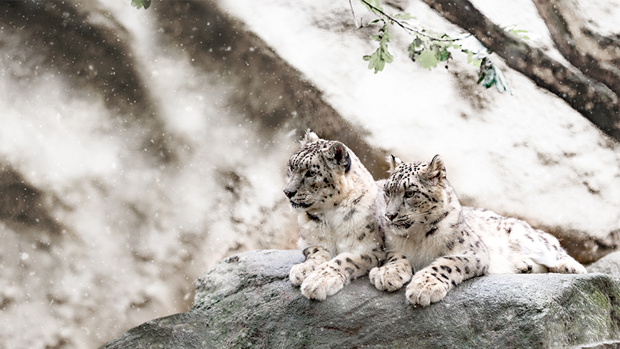 The snow leopard has declined by 20% in the past two decades, leaving only an estimated 4,000-6,500 of this iconic species left in the wild.