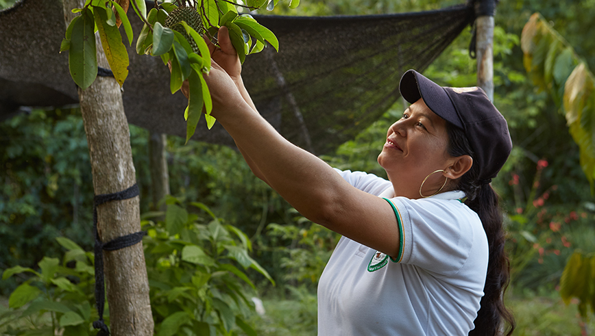 Colombian woman picking a tree fruit