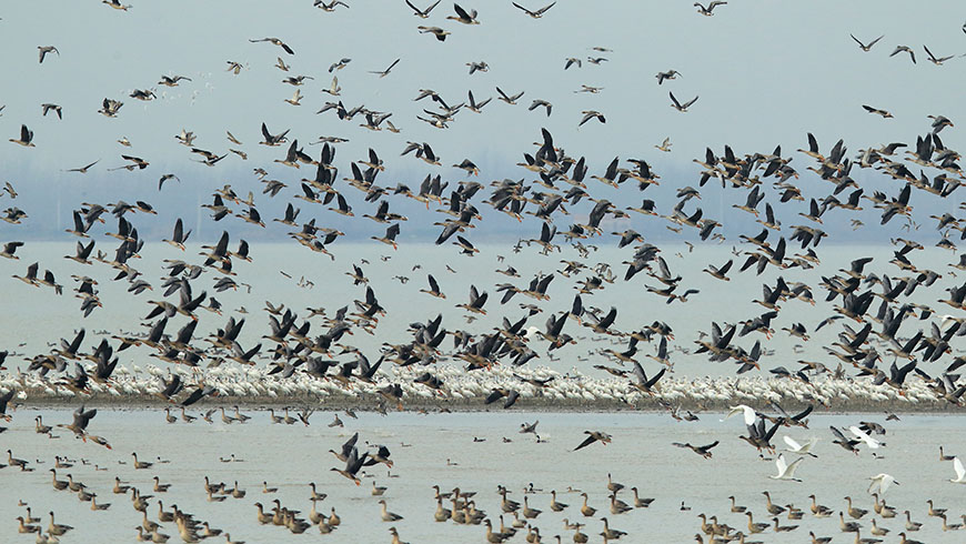 Large permanent freshwater marshes and freshwater lakes in Hubei support a total of 140 species of birds. Nearly one million water birds over-winter in the wetland areas of the province.