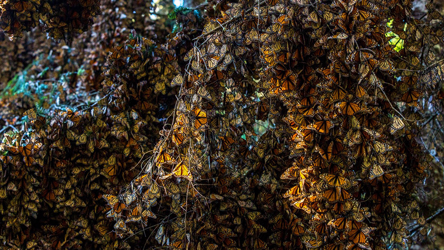 Monarch butterflies covering tree branches