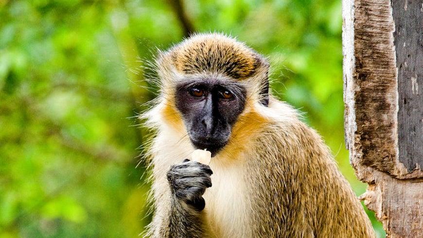 Green monkey eating