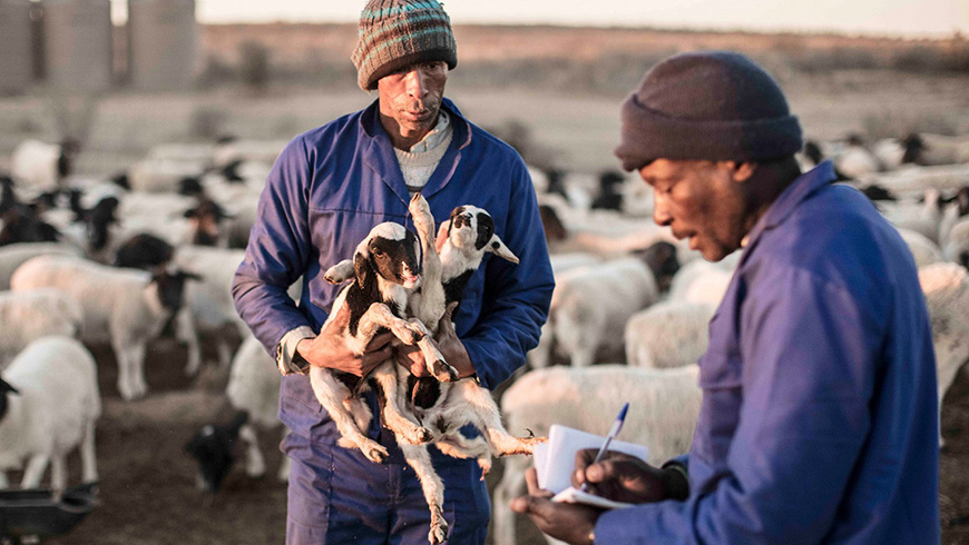 A new pilot initiative covering about 25,000 hectares and using shepherds, has succeeded in increasing production of rangeland lamb and beef while simultaneously restoring vegetation and fostering biodiversity. Photo: Jonathan Taylor/Landmark Foundation.