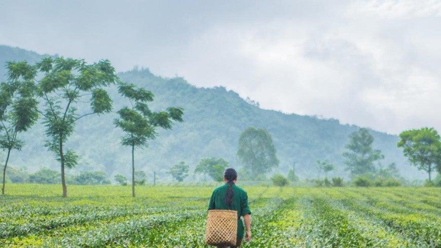 Woman walking through tea fields in Vietnam